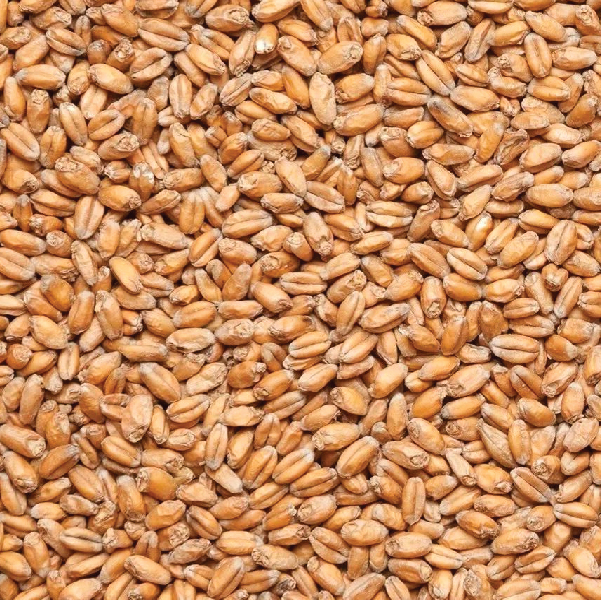 WHITEFISH WHEAT
